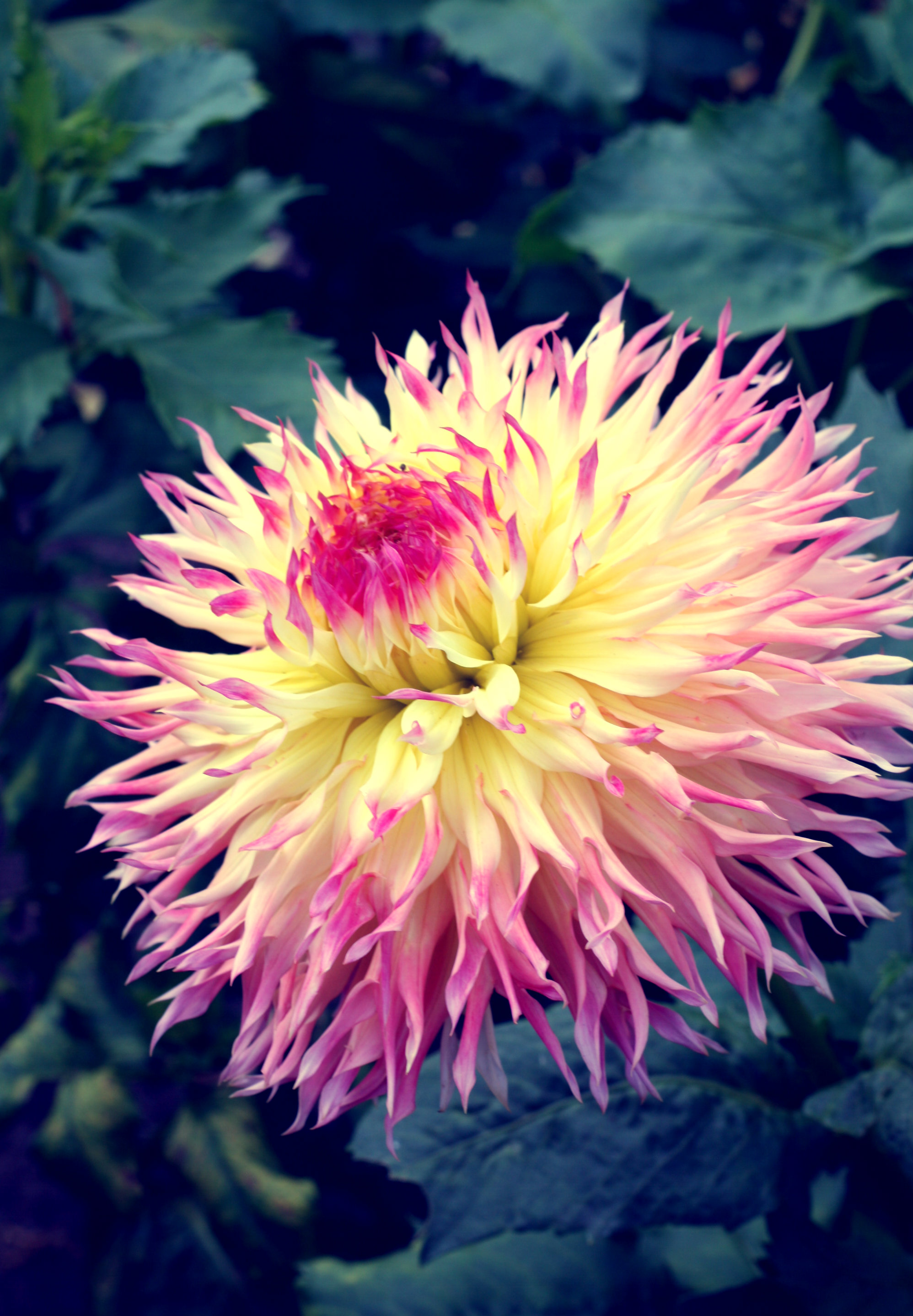 More To Love SF Golden Gate Park Dahlia Gardens Yellow And Pink Cactus  Dahlia